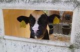 小牛さんP1000033.jpg